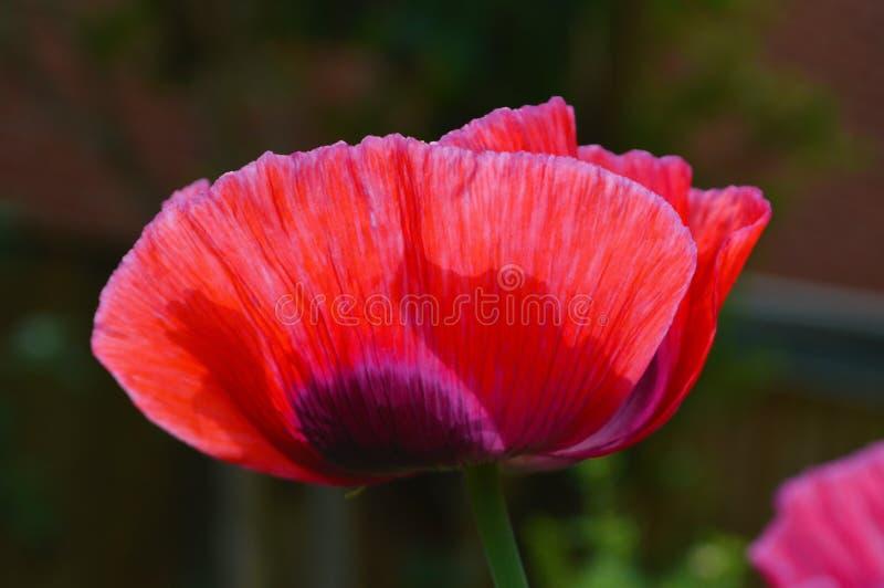 Pavot à opium Papaver somniferum photos stock