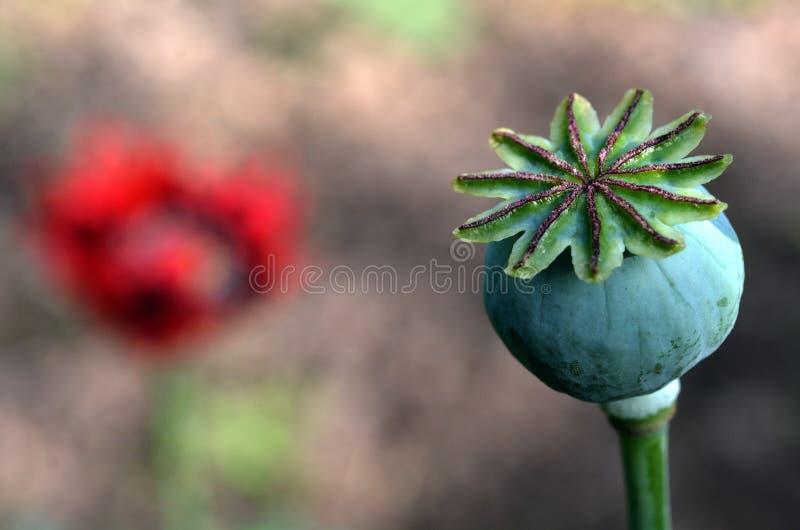 Pavot à opium - Papaver somniferum image libre de droits