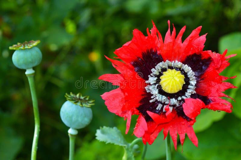 Pavot à opium - Papaver somniferum photos stock