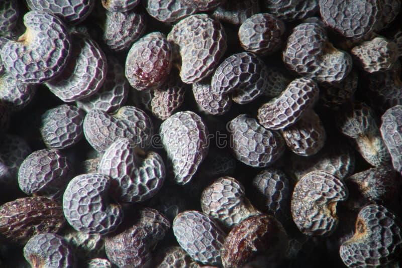 Pavot à opium sec microscopique Papaver somniferum de graines Opiacés narcotiques, de drogue et usine de nourriture photographie stock libre de droits
