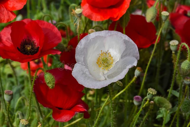 Pavot blanc de paix dans le domaine cramoisi 03 photos stock