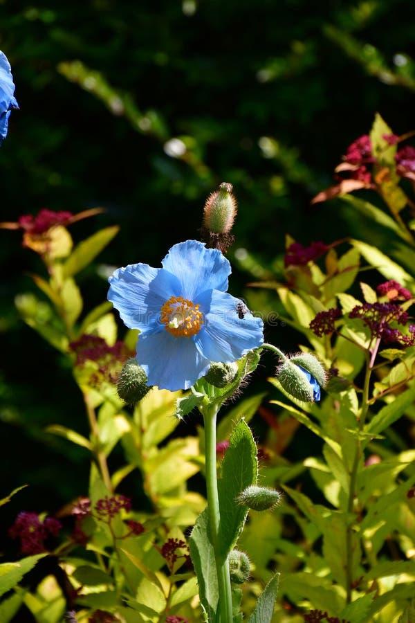 Pavot bleu dans le jardin photographie stock libre de droits