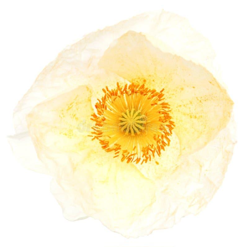 Pavot cultivé photos stock