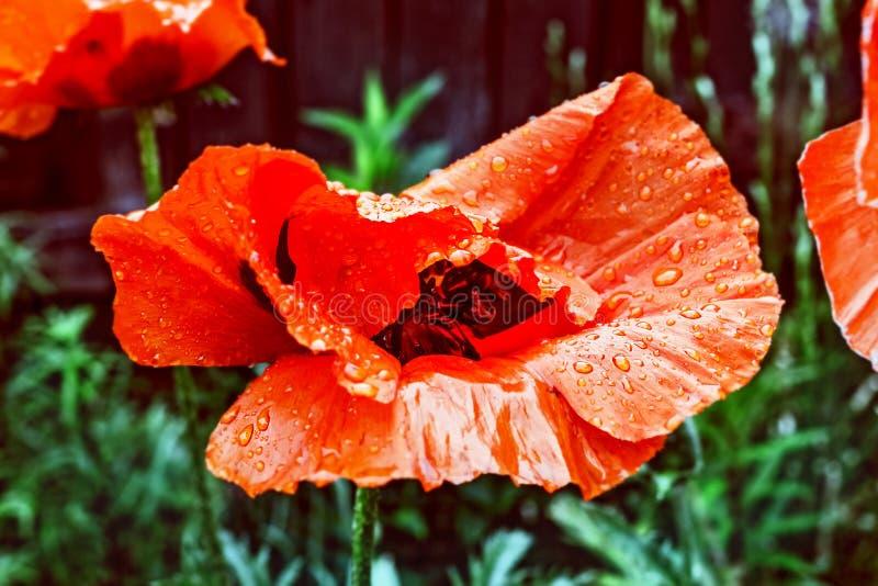 Pavot cultivé rouge en gouttes de pluie photo libre de droits