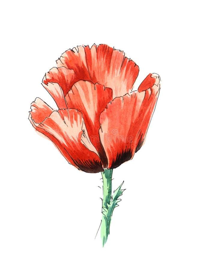 Pavot d'aquarelle avec la tige illustration de vecteur