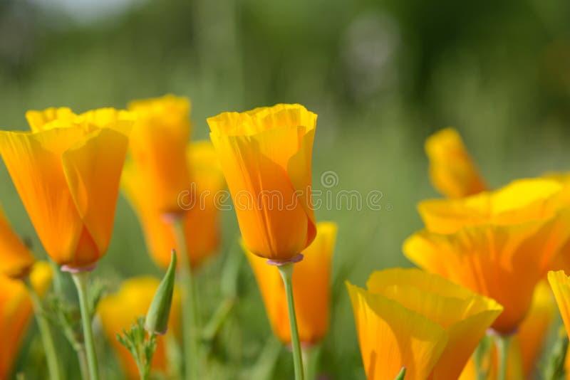 Pavot d'orange de la Californie images libres de droits