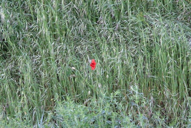 Pavot dans le domaine d'herbe photo stock