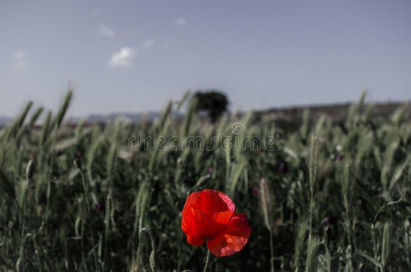 Pavot dans un domaine de blé photographie stock