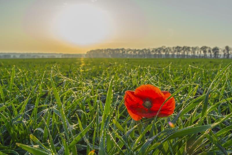 Pavot dans un domaine de blé d'hiver en automne en retard au coucher du soleil sous un ciel clair avec de petits nuages photographie stock libre de droits