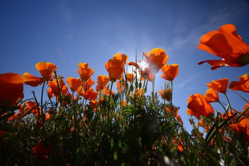 Pavot de Californie images libres de droits