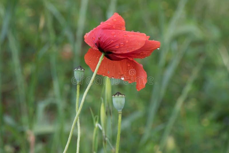 Pavot de fleur sur le fond vert photo stock