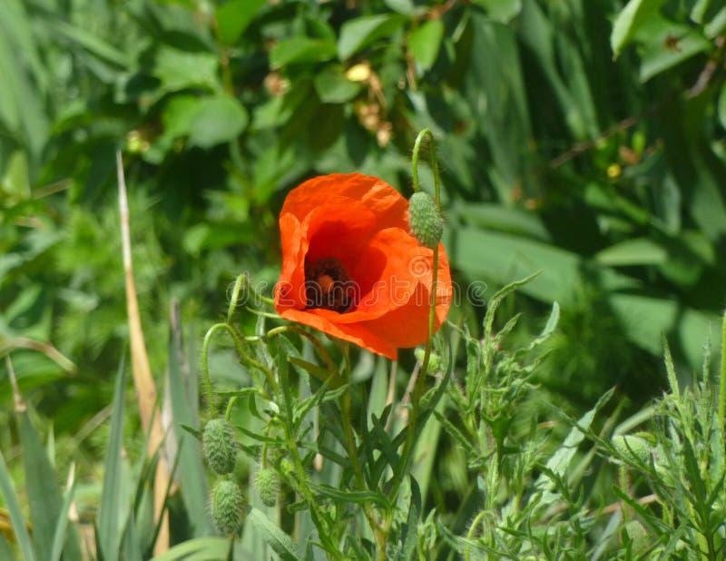 Pavot de floraison photo stock