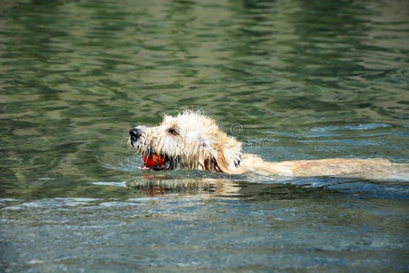 Pavot de Labradoodle de natation photos stock