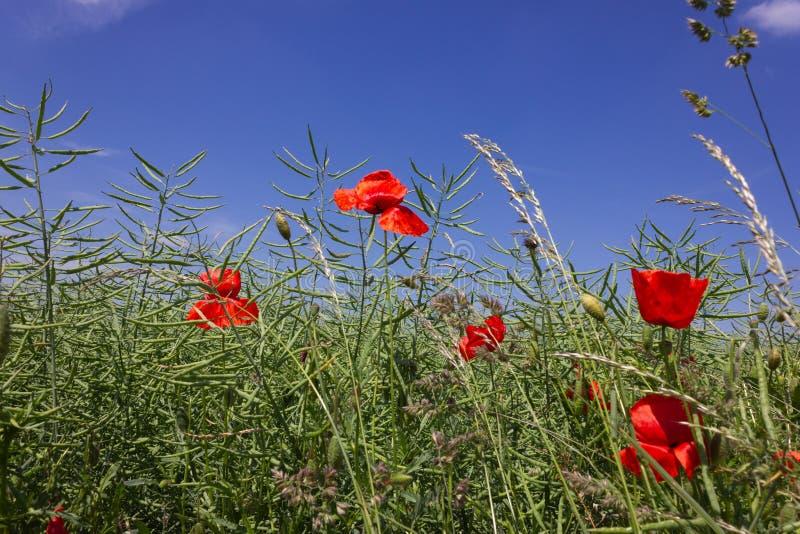 pavot de maïs dans le domaine de blé sous le ciel bleu profond photo stock
