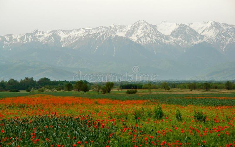 pavot du Kyrgyzstan de zone photo stock