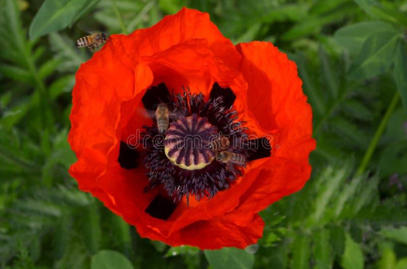 Pavot et abeilles rouges photographie stock libre de droits