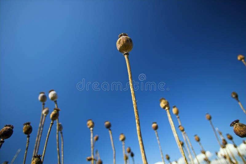 Pavot et ciel bleu image libre de droits
