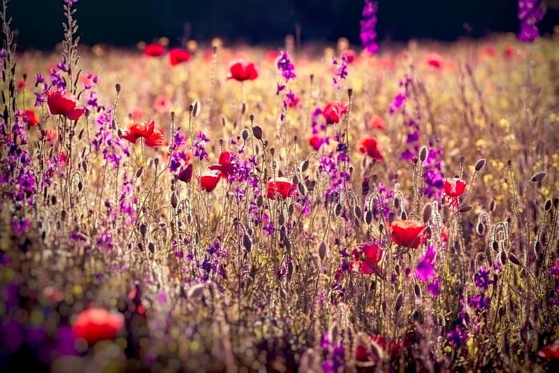 Pavot et fleurs pourpres dans le pré, beau paysage image stock