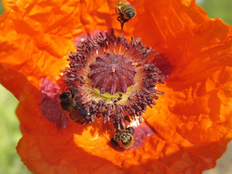 Pavot et l'abeille. images libres de droits