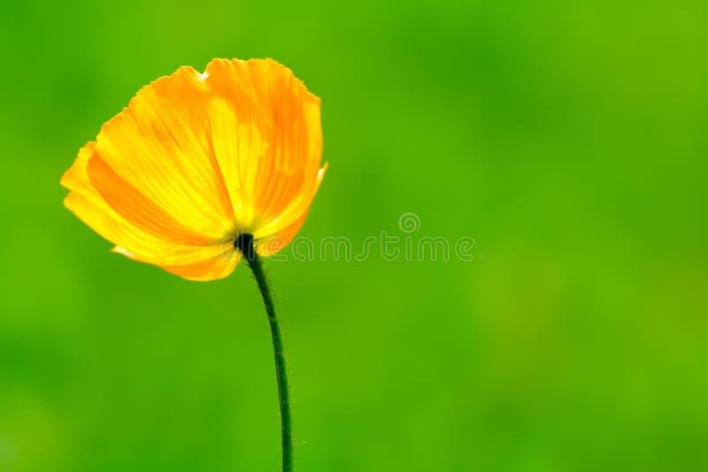 Pavot jaune photographie stock libre de droits