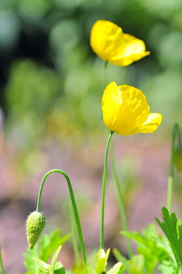 Pavot jaune photo libre de droits