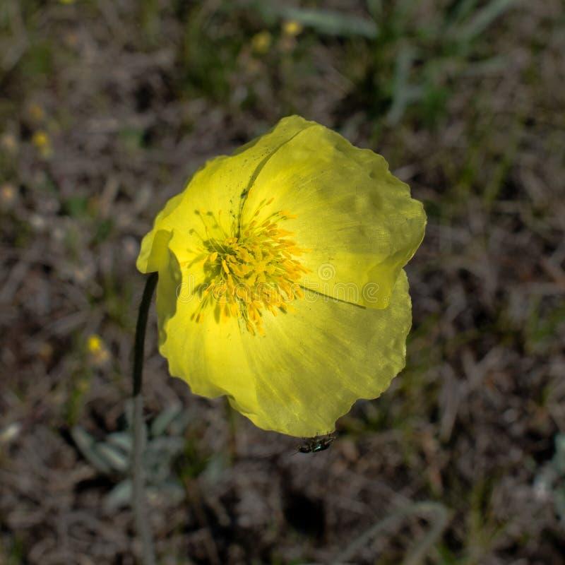 Pavot jaune simple pavot jaune jaune de fleur sauvage photographie stock libre de droits