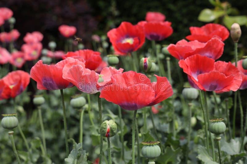 Pavot ? opium rouge images libres de droits