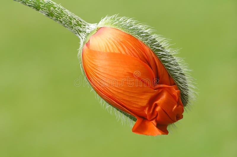 Pavot orange photos libres de droits