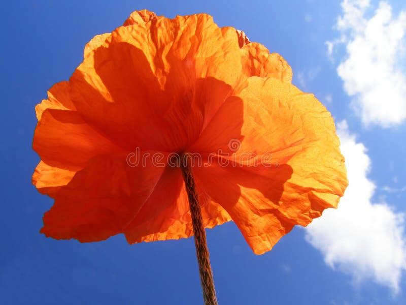 Pavot orange photographie stock libre de droits