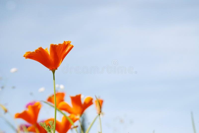 Pavot orange devant le ciel bleu photo libre de droits