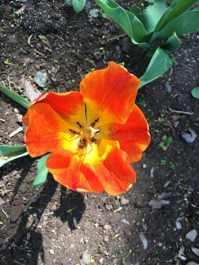 Pavot orange et jaune images stock