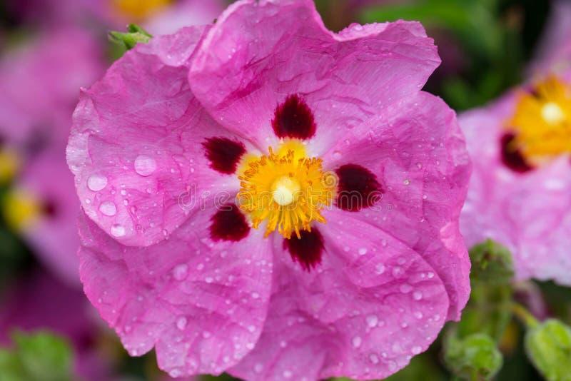 Pavot rose avec des gouttes de pluie image libre de droits