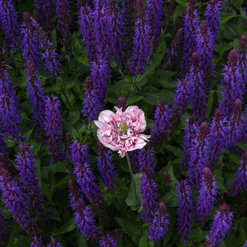 Pavot rose sensible parmi les tiges violettes de fleur de salvia images libres de droits