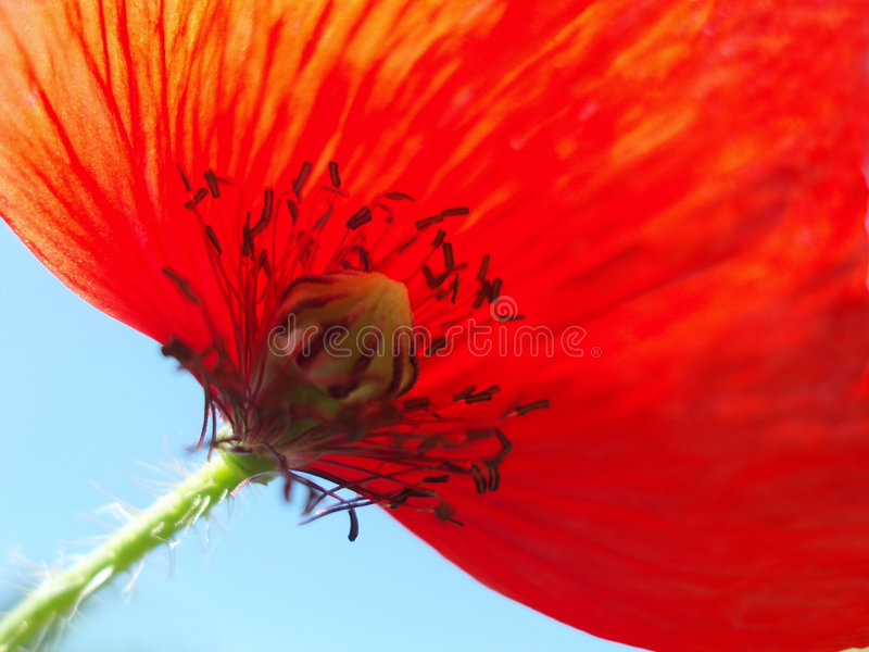 Pavot rouge avec la tige photo stock