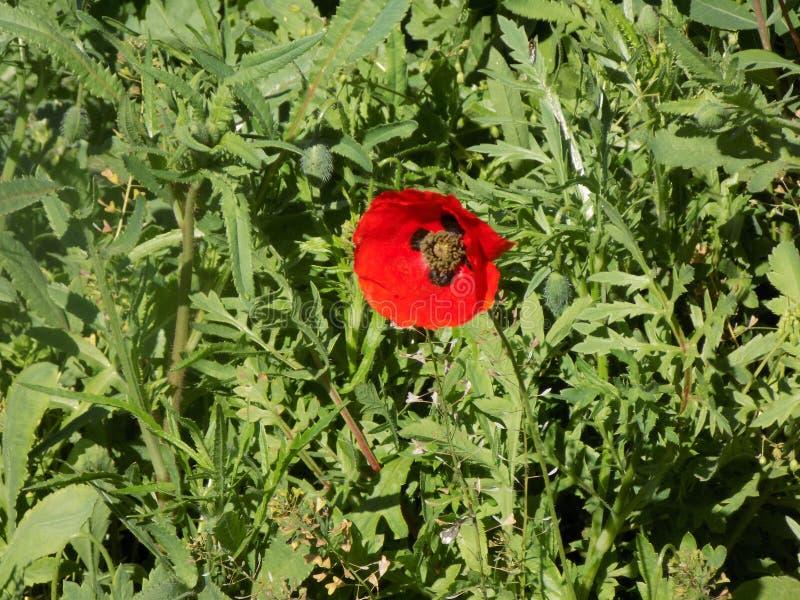 Pavot rouge dans l'herbe photo stock