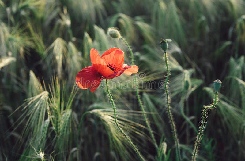 Pavot rouge dans le domaine avec l'herbe verte et le blé photos libres de droits