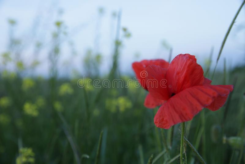 Pavot rouge dans un domaine vert images libres de droits