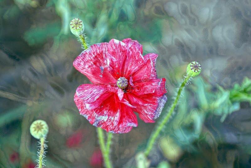 Pavot rouge de bourgeon sur une tige verte photographie stock libre de droits