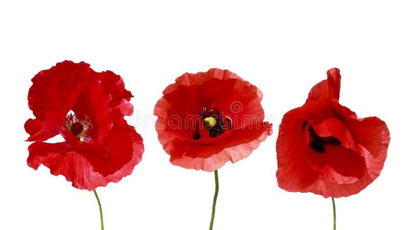Pavot rouge de fleurs décoratives des éléments trois beau sur le blanc i photographie stock libre de droits