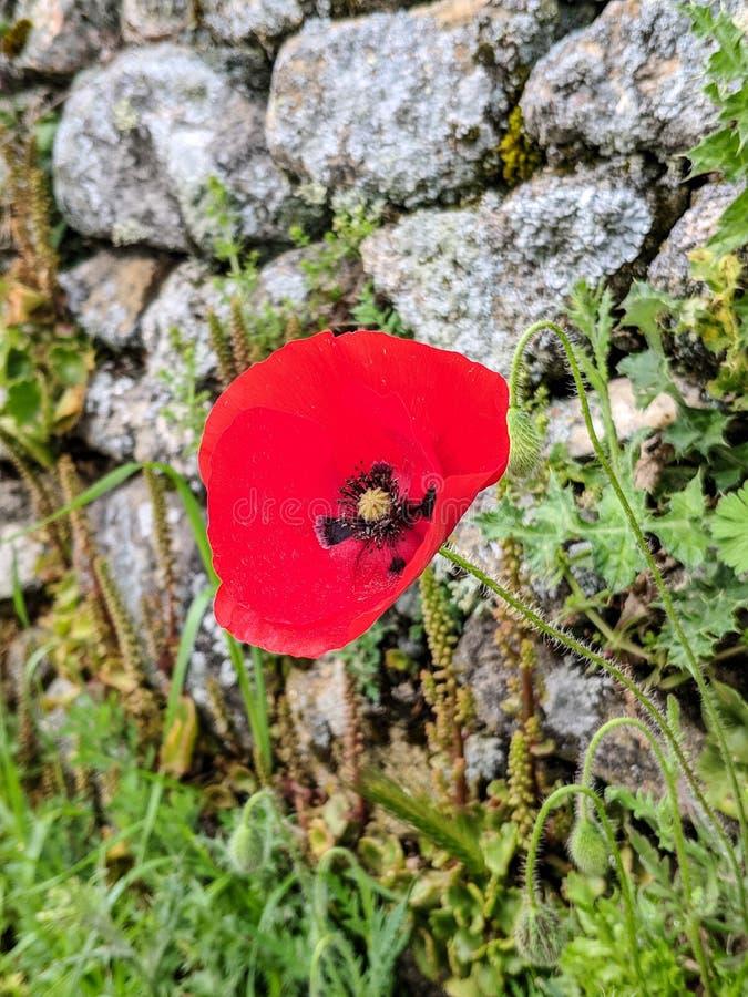 Pavot rouge fleurissant dans le jardin image libre de droits