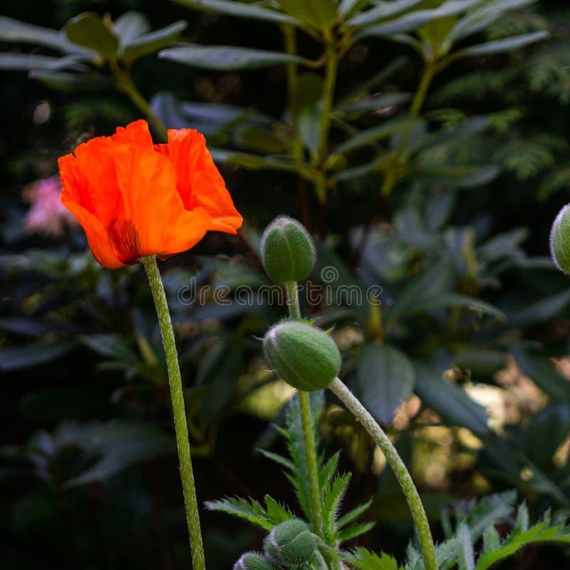 Pavot rouge, rhoeas scientifiques de pavot de nom en pleine floraison avec de grandes capsules vertes de bourgeon et un fond d?li images stock