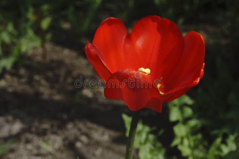 Pavot rouge simple en jaune ils image stock