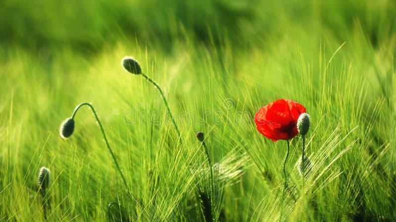 Pavot simple dans le domaine de blé photos stock