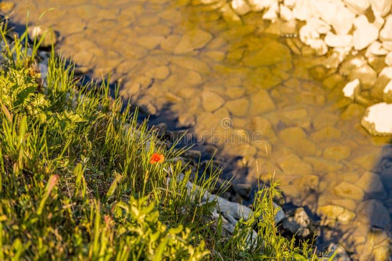 Pavot sur le canal d'irrigation images stock