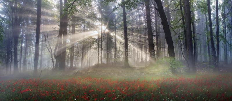 Pavots alpins dans les Carpathiens images stock