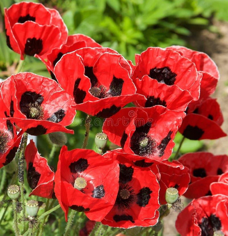 Pavots assez rouges et noirs dans un jardin anglais estival photographie stock