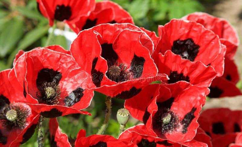 Pavots assez rouges et noirs dans un jardin anglais estival photo libre de droits