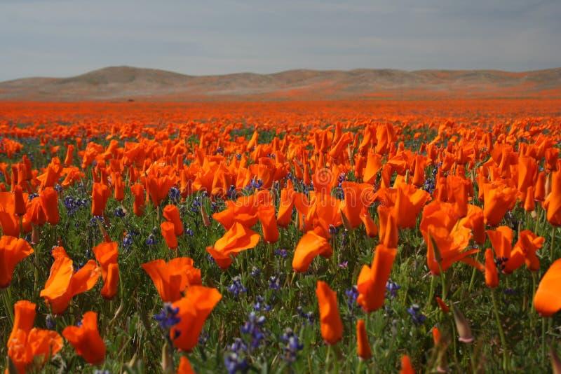 Pavots au printemps photo libre de droits