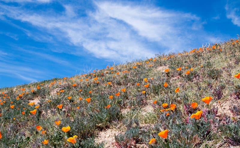 Pavots d'or de la Californie dans le haut désert de la Californie du sud photos stock