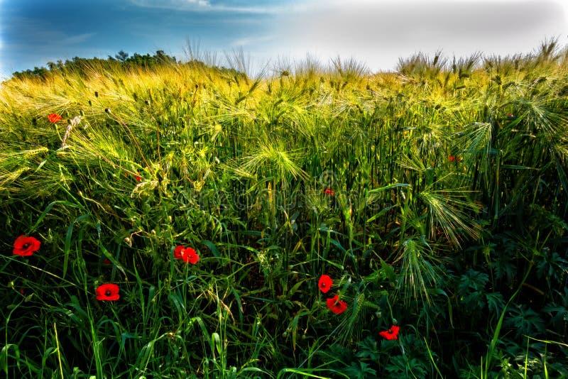 Pavots dans le domaine de bl? Grain de maturation dans le domaine Grain sur le champ Orge de maturation Paysage avec des champs d images libres de droits